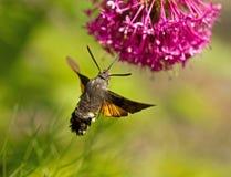 De havik-Mot van de kolibrie Royalty-vrije Stock Afbeeldingen