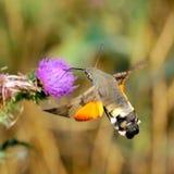 De havik-mot van de kolibrie (Macr royalty-vrije stock afbeeldingen