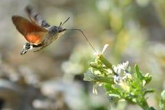 De havik-Mot van de kolibrie (stellatarum Macroglossum) Stock Afbeeldingen