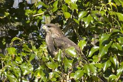 De Havik van de adelaar. Royalty-vrije Stock Foto's