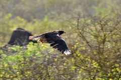 De Havik van de Galapagos tijdens de vlucht Stock Afbeeldingen
