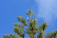 De havik wacht geduldig bovenop een pijnboomboom in Lord Howe Island stock afbeeldingen