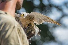 De haviks` Falco columbarius van de Merlin` duif royalty-vrije stock afbeelding