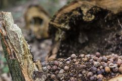 De hazelnoten in de boom Stock Foto