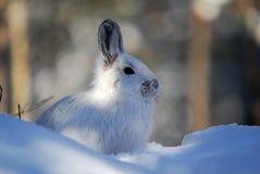 De Hazen van de sneeuwschoen stock foto's