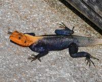 De heer Afrikaanse Red-Headed Agama stock fotografie