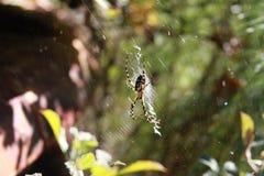 De heer spin Stock Afbeeldingen