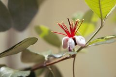 De heerlijke Bloesem van de Ananasguave royalty-vrije stock fotografie