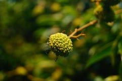 De heerlijke fruitlychee, rijpt in de lycheeboomgaard Stock Afbeeldingen