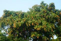 De heerlijke fruitlychee, rijpt in de lycheeboomgaard Royalty-vrije Stock Foto's