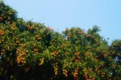 De heerlijke fruitlychee, rijpt in de lycheeboomgaard Royalty-vrije Stock Afbeeldingen
