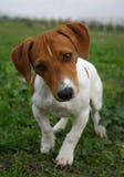 De hefboom russel terriër van het puppy Stock Foto