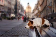 De Hefboom Russel van de hond Stock Foto's