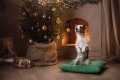 De Hefboom Russel van de hond Kerstmisseizoen 2017, nieuw jaar Royalty-vrije Stock Foto