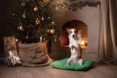De Hefboom Russel van de hond Kerstmisseizoen 2017, nieuw jaar Stock Foto's