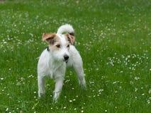 De Hefboom Russell Terrier van de predikant Royalty-vrije Stock Foto's
