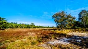 De de heidegebieden en bossen in het natuurreservaat van Hoge Veluwe royalty-vrije stock foto