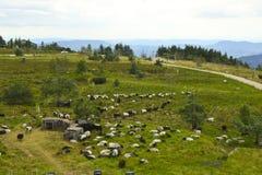 De heideschapen op hoogte leggen weide, Zwart Bos, Duitsland vast Stock Fotografie