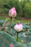 De heilige Bloem van Lotus Stock Foto's