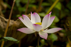 De heilige Bloem van Lotus Royalty-vrije Stock Afbeeldingen