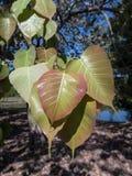 De heilige Vijgeboom` s bladeren, roepen ook de Boom van BO Stock Foto