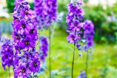 De heldere blauwe riddersporen planten Populaire sier in plattelandshuisjetuinen Stock Foto