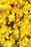 De heldere Gele Achtergrond van de Bloem Stock Afbeeldingen