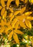 De heldere gele bladeren van de asboom Royalty-vrije Stock Afbeelding