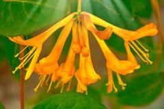 De heldere gele bloem groeit op het gebouw, beklimt op het veel bloemblaadjes en stamens royalty-vrije stock fotografie