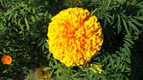 De heldere gele bloem van calendula Royalty-vrije Stock Afbeeldingen