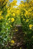 De heldere gele bloesem van het raapzaadgebied in de lente royalty-vrije stock afbeelding