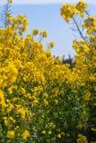 De heldere gele bloesem van het raapzaadgebied in de lente royalty-vrije stock afbeeldingen