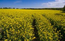 De heldere gele bloesem van het raapzaadgebied in de lente stock fotografie