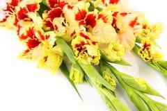De heldere gele en rode gladiolen isoleerden horizontaal Royalty-vrije Stock Fotografie