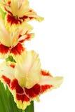 De heldere gele en rode gladiolen isoleerden verticaal Royalty-vrije Stock Fotografie