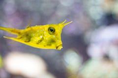De heldere gele vis zwemt in water stock afbeelding