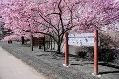 De heldere Hete Roze Lente Cherry Blossom In Full Bloom in het Park bij Dalingsstad Washington royalty-vrije stock foto's