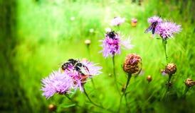 De heldere hommels en de mooie motten verzamelen nectar van roze-purpere bloemen stock foto's