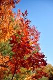 De heldere karmozijnrode tak van de esdoornboom tegen de hemel Royalty-vrije Stock Afbeeldingen