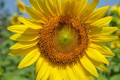 De heldere mooie gele gelukkige zonnebloem die van de close-upzomer stuifmeelpatroon en zacht bloemblaadje met vage gebied en hem Stock Fotografie