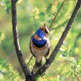 de heldere mooie mannelijke zitting van de Blauwborstvogel op een tak en stock fotografie
