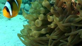 De heldere oranje kleur van clownvissen in het onderwater Rode overzees van Anemone Actinidae stock video
