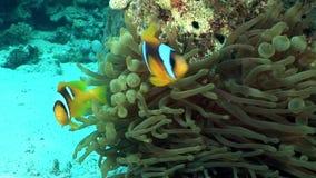 De heldere oranje kleur van clownvissen in het onderwater Rode overzees van Anemone Actinidae stock videobeelden
