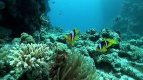 De heldere oranje kleur van clownvissen in het onderwater Rode overzees van Bellenanemone actinidae stock video