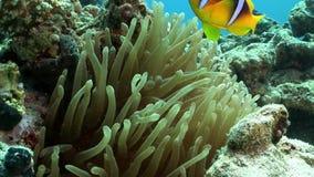 De heldere oranje kleur van clownvissen in het onderwater Rode overzees van Bellenanemone actinidae stock footage