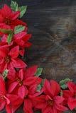 De heldere Rode bloemen van Poinsettia Royalty-vrije Stock Afbeeldingen
