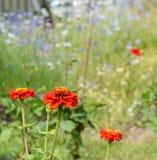 De heldere rode bloemen van Zinnia tegen blauwe en witte korenbloemen Royalty-vrije Stock Afbeeldingen