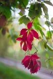 De heldere rode installatie van de de herfstklimop stock foto's