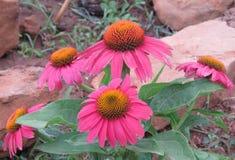 De heldere roze bloei van Coneflowers of Echinacea- stock foto's