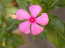De heldere roze bloem van kleurenmadagascar Rose Periwinkle stock foto